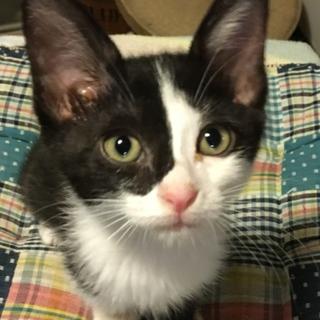 白黒鉢割れ・眼帯風^^美猫の女の子・生後3ヶ月♪♪