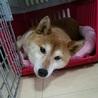 おっとり可愛い柴犬ちゃんです。 サムネイル3