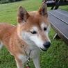 おっとり可愛い柴犬ちゃんです。 サムネイル4
