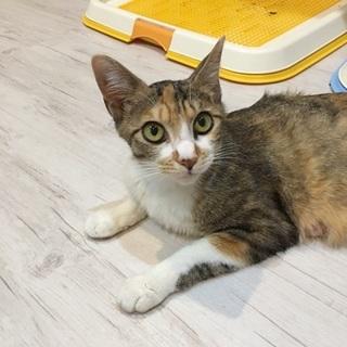 見ていてうっとりの美猫!三毛子ちゃん♀