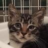 キジ白美猫男子の子猫ちゃん、ソックスくん♪