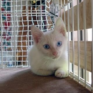 徳島より、シャイな白猫(忍者猫)♂