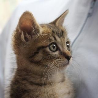 生後1ヵ月半過ぎ可愛いキジ猫