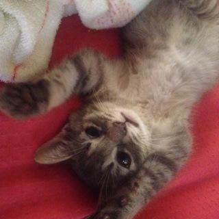 1ヶ月半の仔猫ちゃん男の子