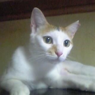 美人猫の家族になってください