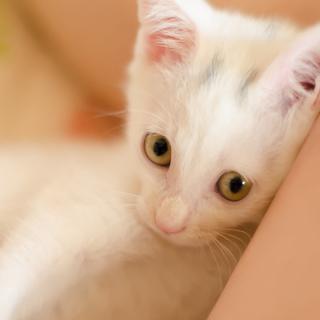 超あまえんぼう白猫♂★生後一ヶ月半★子猫