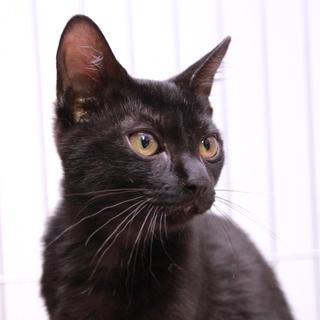 黒子猫♂クロミツくん推定3か月