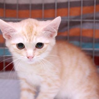 茶クリーム子猫♀ミュウミュウ推定3か月