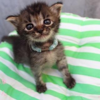 あまあま♥キジトラ仔猫(男の子)ルカくん里親募集