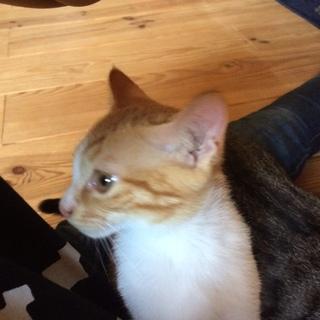 ひざの上が大好きチャトラの仔猫です。
