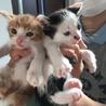 生後1か月の茶白の子猫ちゃん