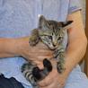 キジ子猫2ヵ月男の子です!