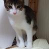 可愛いらしいキジシロ猫ちゃん