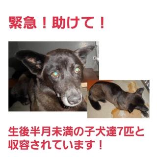 生後半月未満の子犬と収容!!助けてください!
