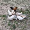 青い卵を産むアローカナ含む鶏9羽の里親募集
