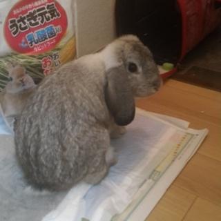 急募 ウサギを引き取ってほしいです