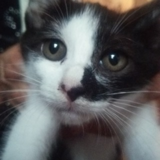 緊急!美猫2~3ケ月