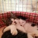 遊び好きキジの子猫4ヶ月♂ (白黒君は里親様決定)