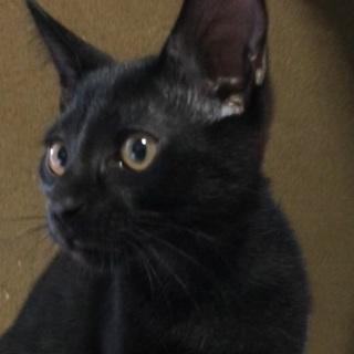かわいい黒子猫の里親さん募集
