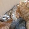 【急募!!!】3ヶ月の子猫(茶♂)里親募集中