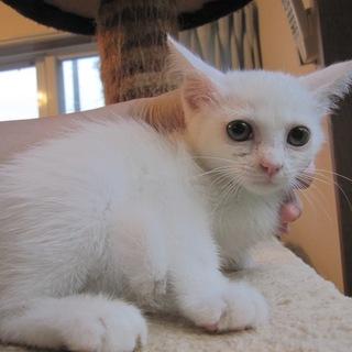 頭にハート 可愛い白猫としお君 1、5ヶ月齢