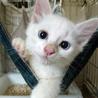 真っ白で可愛いふわふわ仔猫「あばれる君」です。