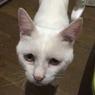 【シロボー】スリゴロ白猫!