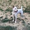 紀州犬 訓練を終え賢い家庭犬になりました。 サムネイル2