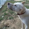 紀州犬 訓練を終え賢い家庭犬になりました。 サムネイル3