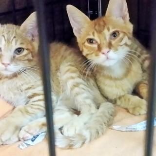 仲良し茶トラ子猫 兄妹 2~3ヵ月
