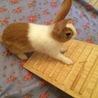 里親さん決定!ミニウサギ ピノちゃん サムネイル3