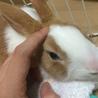 里親さん決定!ミニウサギ ピノちゃん サムネイル7