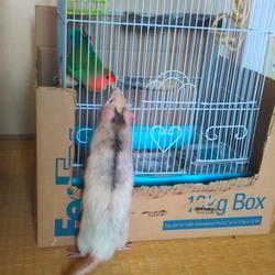 ネズミ君のお散歩
