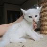 頭にぽちの白猫ミライちゃん1、5ヶ月齢