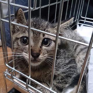 猫会*健康チェック済*1.5か月事故を逃れた女の子