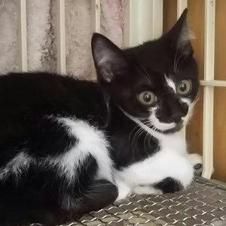 猫会*健康チェック済*2.5か月穏やかな男の子