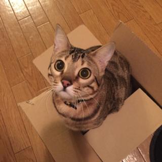 ベンガル子猫 男の子