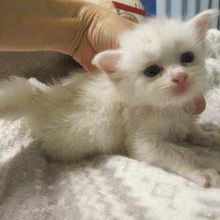 ゴージャス半長毛白猫まりりんちゃん