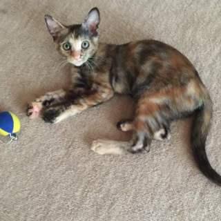 抱っこ大好きサビ子猫オカリナ!