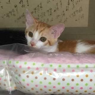 遊ぶの大好き茶白子猫のみゆきちゃん!