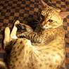 ベンガル成猫:イケメン男子:血統書付き