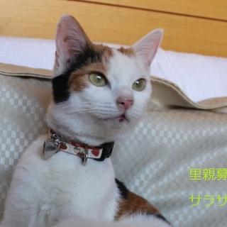 あまあま♥三毛猫 サラサちゃん里親募集