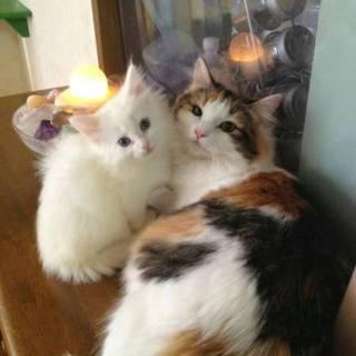 ノルウェージャンフォレストキャット 三毛猫