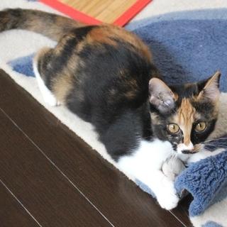 猫初めて&他猫もOK&飼い易い幼猫三毛☆抱っこすき