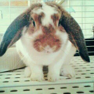 保護ウサギさんメス