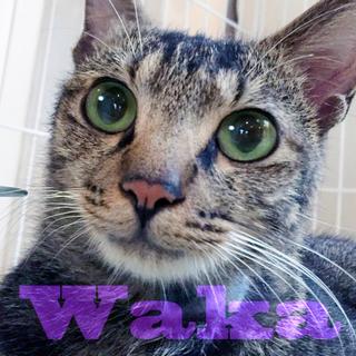 猫初心者向け☆キジトラ緑の目の抱っこ大好き若様