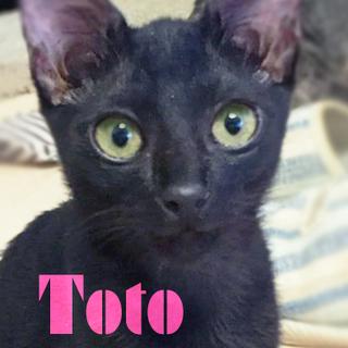 黒猫♡3ヶ月丸顔の美少女!お膝大好きトト