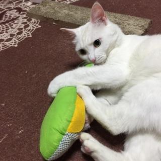 大人カワイイ、落ち着いた性格の白猫。