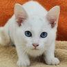 まろ眉付き★白猫のマロちゃん
