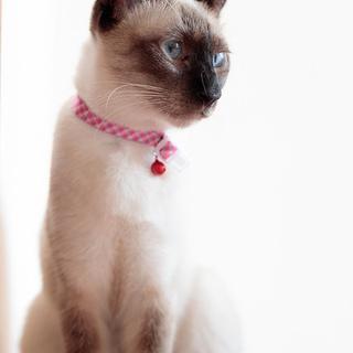 人が大好き♪ 甘えたのシャム猫 アリスちゃん